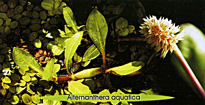 Alternather aquatica