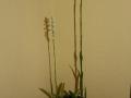 ein Topf, zwei Blütenstände!