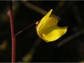 Utricularia_Blüte