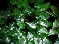 31purpurea Große Webansicht