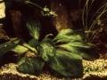 Echinodorus opacus Rataj
