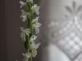 Blütenstand von Spiranthes odorata