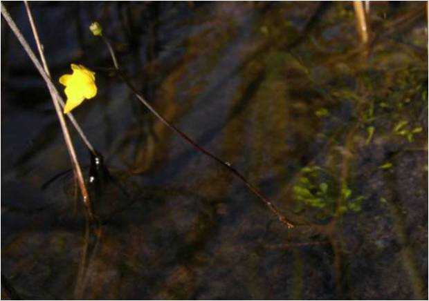 Genlisea Blüte