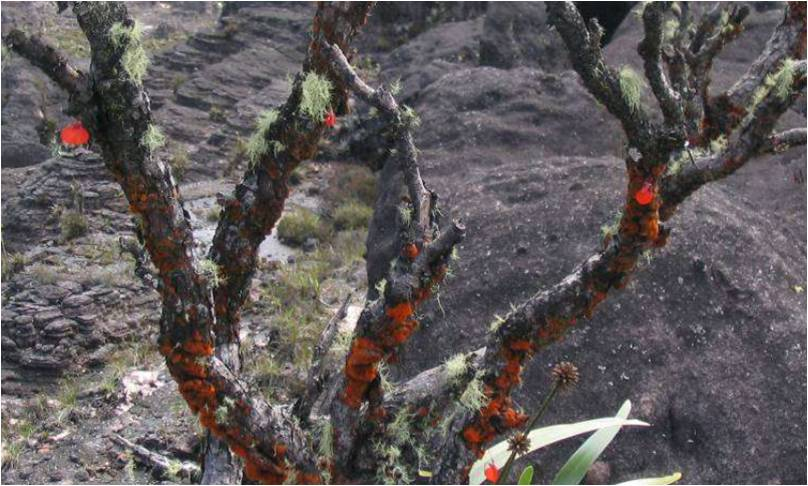 Utricualria epiphytisch 1