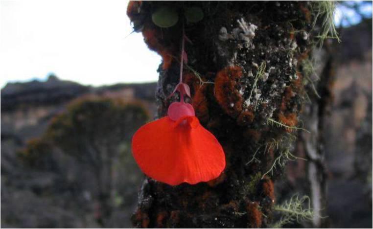 Utricualria epiphytisch 2