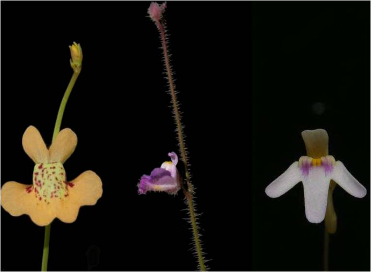 Utricularia Blüten