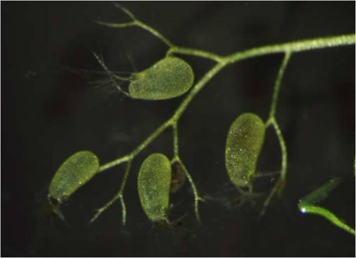 Utricularia Saugfalle