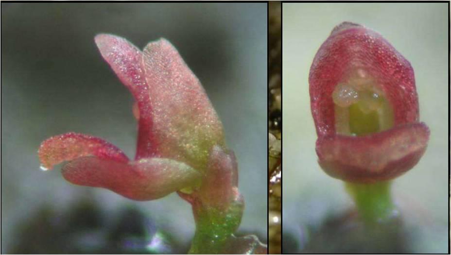 Utricularia simmonsii 2