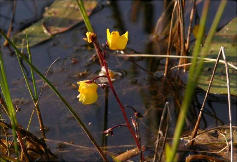 Utricularia_Blüte in natura