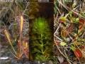Droseraceae_Übersicht