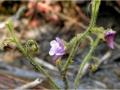 Genlisea Blüte 2