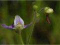 Genlisea Blüte 3